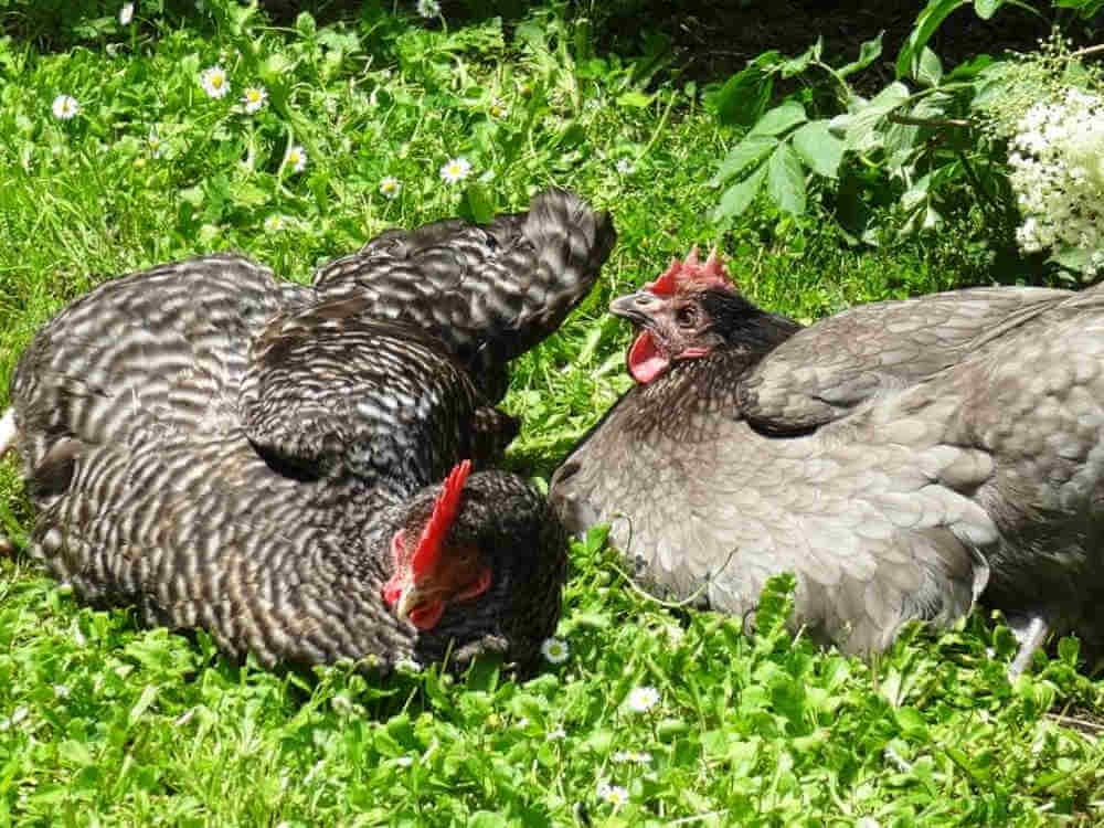 poules du Domaine de La Reculée